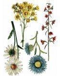 Wild Flower Botanicals